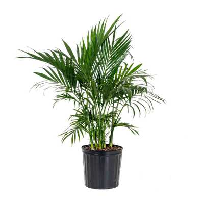 United Nursery Cat Palm Plant in 9.25 in. Grower Pot - Home Depot