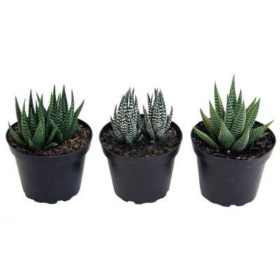 Haworthia Succulent Assortment in 4 in. Grower Pot (3 pack) - Home Depot