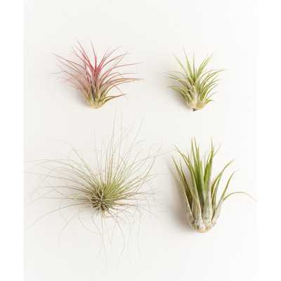 Shop Succulents Assorted Air Plant (4-Pack) - Home Depot