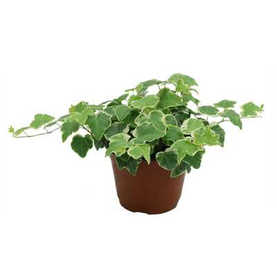 Ivy Plant in 6 in. Grower Pot - Home Depot