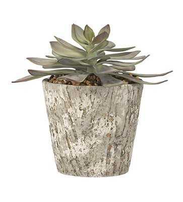 Frosted Echeveria Floor Succulent Plant in Pot - Wayfair