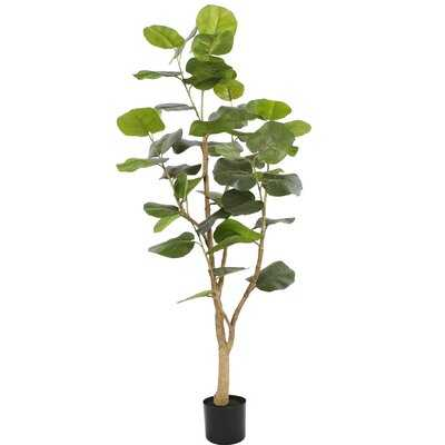 Sea Grape Tree in Pot - Wayfair