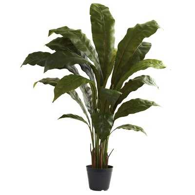 Birdsnest Floor Plant in Pot - Wayfair