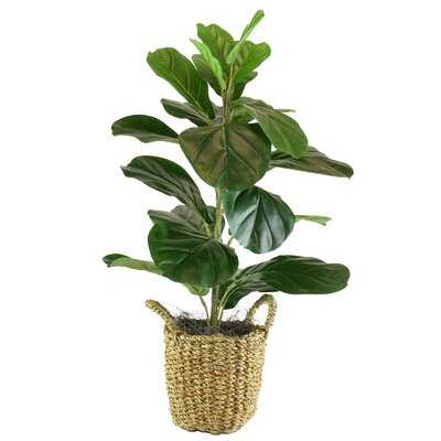 Fiddle Leaf Fig Tree in Basket - 30 inches high - Wayfair