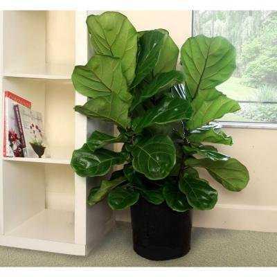 8-3/4 in. Ficus Pandurata Bush in Pot - Home Depot