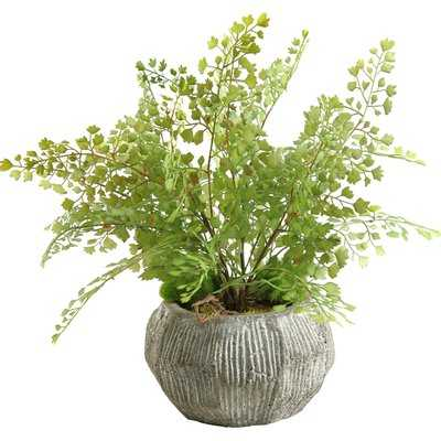 Fla Iron Foliage Plant in Pot - Wayfair