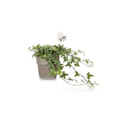 Green Circle Growers Wild Interiors 5 in. Ivy in Terra Cotta Pot - Home Depot