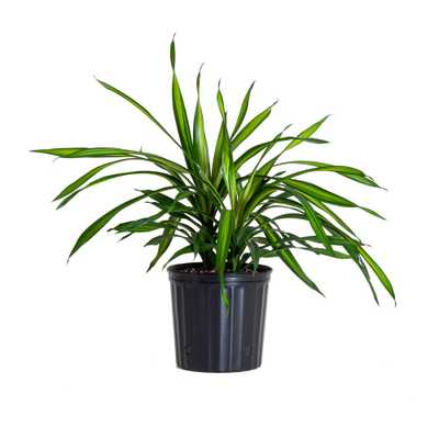 United Nursery Dracaena Rikki Plant in 9.25 in. Grower Pot - Home Depot