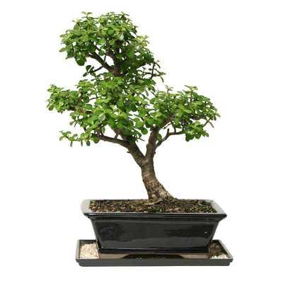 Dwarf Jade Bonsai - Home Depot