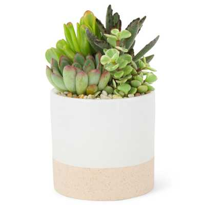 Pure Beauty Farms 4 in. Succulent in Ceramic Combo - Home Depot