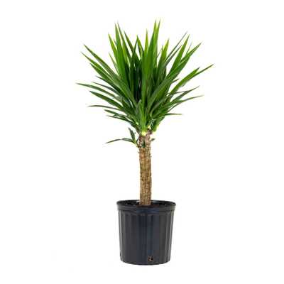 United Nursery Yucca Cane Plant in 9.25 in. Grower Pot - Home Depot