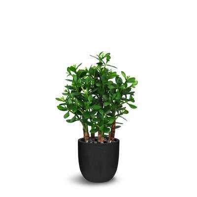 Floor Ficus Plant in Pot - Wayfair