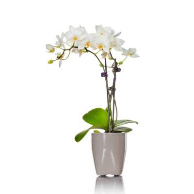 White Mini Orchid Plant in Ceramic Pot - Home Depot