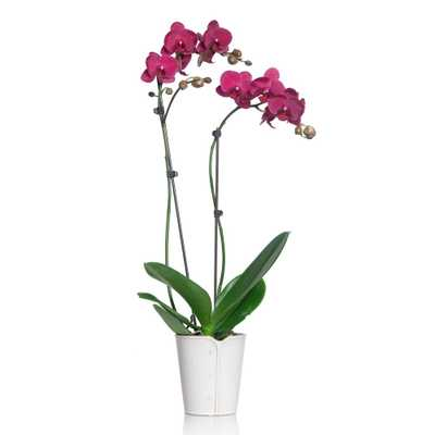 Pink 5 in. Classic Orchid Plant in Ceramic Pot (2-Stems) - Home Depot