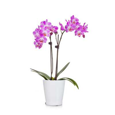 Pink 3 in. Holiday Orchid Plant in Ceramic Pot - Home Depot