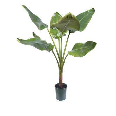 Banana Leaf Tree In Pot - Wayfair