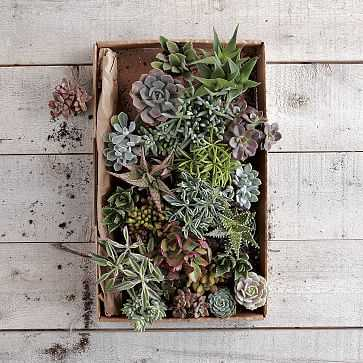 Succulents, Small Assorted - West Elm