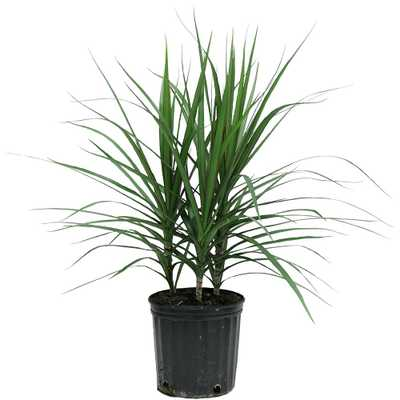 Marginata Bush in 8.75 in. Grower Pot - Home Depot
