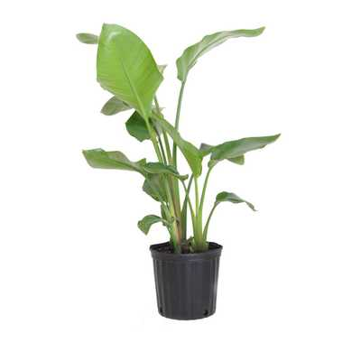 UNITED NURSERY White Bird of Paradise Live Indoor Strelitzia Nicolai Plant Shipped in 9.25 in. Grower Pot - Home Depot