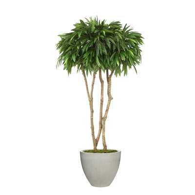 Canopy Mango Tree in Planter - Wayfair