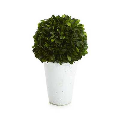Potted Boxwood - Crate and Barrel