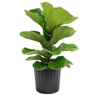8-3/4 in. Ficus Pandurata Bush in Pot - Home Depot