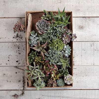 Succulents (Set of 3) - Small - West Elm