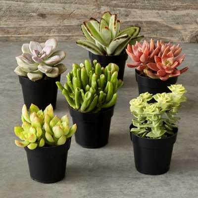 Succulents, Set of 6 - Williams Sonoma