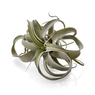 Faux Air Plant - Crate and Barrel