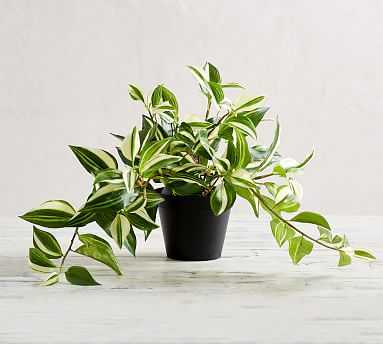 Faux Wandering Variegated Tradescantia Houseplant, Trailing - Pottery Barn