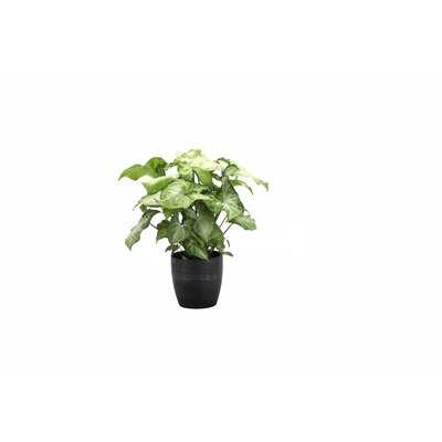 "11"" Live White Butterfly Plant in Pot - Wayfair"