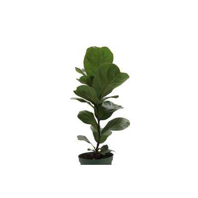 "23"" Live Fiddle Leaf Fig Plant - Wayfair"