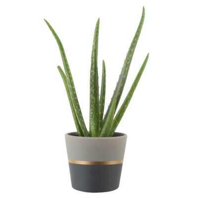 12'' Live Aloe Succulent in Planter - AllModern