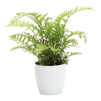 "5"" Live Fern Plant in Pot - Wayfair"