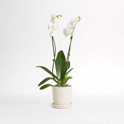 Live Double Stem White Orchid in Bryant Planter - Crate and Barrel