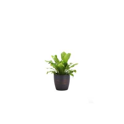 "Thorsen's Greenhouse 10"" Live Fern Plant in Pot Base Color: Brushed Copper - Perigold"