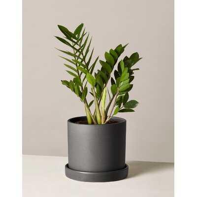 Live Zamioculcas Plant in Pot - Wayfair