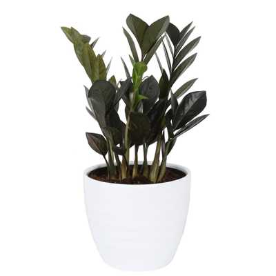 Costa Farms Trending Tropicals Trending Tropicals Raven ZZ Plant in 6 in. Ceramic Pot - Home Depot