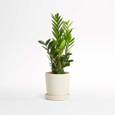 Live ZZ Plant in Bryant Planter by The Sill - Crate and Barrel