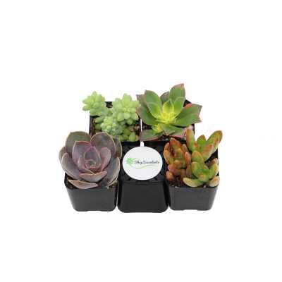 ShopSucculents 4 Mixed Succulent Collection Live Succulent in Pot Set - Perigold