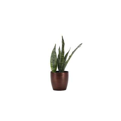 "Thorsen's Greenhouse 12"" Live Snake Plant in Pot Base Color: Copper - Perigold"