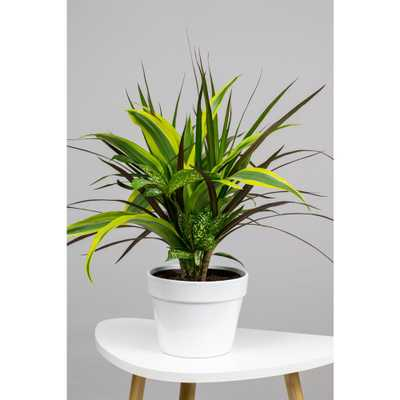 """LIVELY ROOT Dracaena Combination Black Leaf in 6"""" Grower Pot - Home Depot"""