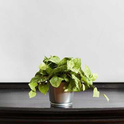 Pothos Vine Ivy Plant in Pot - Wayfair