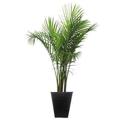 48'' Live Majesty Palm Tree in Planter - Wayfair