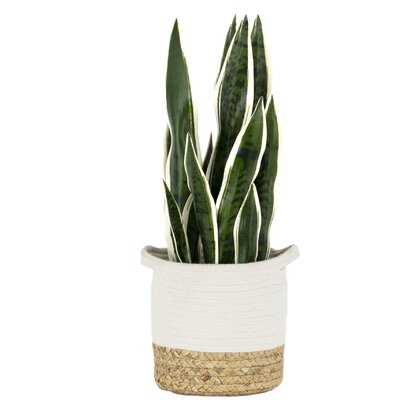 Artificial Snake Plant in Basket - Wayfair