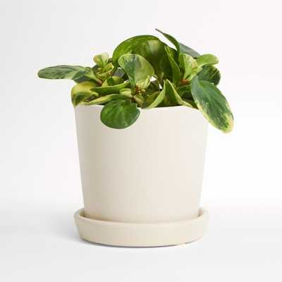 Live Peperomia Marble in Bryant Planter - Crate and Barrel