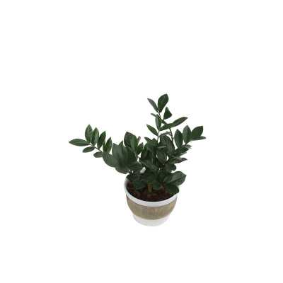 Costa Farms 17'' Live ZZ Plant in Planter - Perigold