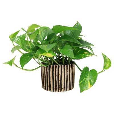16'' Live Ivy Plant in Planter - Wayfair