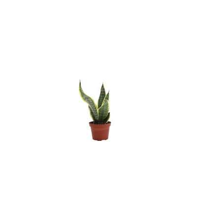 "Thorsen's Greenhouse 12"" Live Snake Plant Size: 12"" H x 6"" W x 6"" D - Perigold"