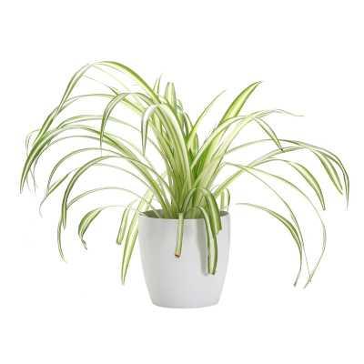 "Thorsen's Greenhouse 7"" Live Foliage Plant in Pot Base Color: White - Perigold"